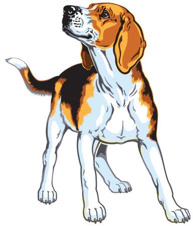 beagle hound dog isolated on white Иллюстрация