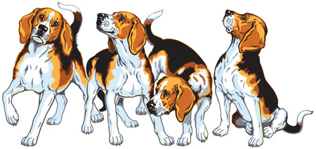 four beagle hounds isolated on white