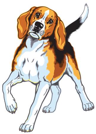 hounds: beagle hound dog isolated on white Illustration