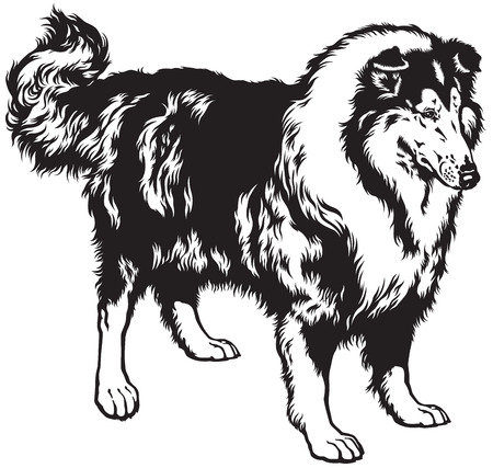 black and white image: rough or long haired collie, scottish shepherd dog, black and white image Illustration