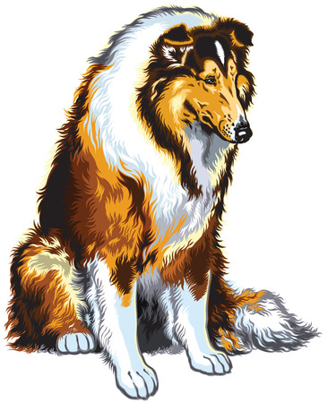 lassie: rough or long haired collie or scottish shepherd dog .Sitting pose. Image isolated on white Illustration