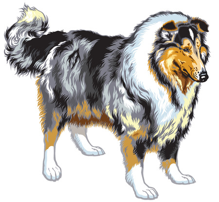 scottish collie: rough or long haired collie or scottish shepherd dog. Blue merle color.Image isolated on white