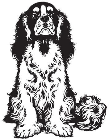 spaniel: blenheim cavalier king charles spaniel, toy dogs breed, black and white image