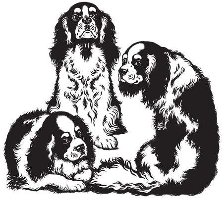 cavalier: three blenheim cavalier king charles spaniels, toy dogs breed, black and white image