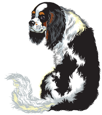 lap dog: tricolor blenheim cavalier king charles spaniel, lap dogs breed, image isolated on white