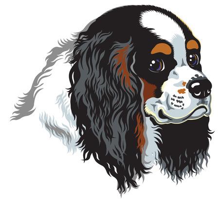lap dog: tricolore blenheim cavalier king charles spaniel, lambiscono cani di razza, immagine isolato su bianco