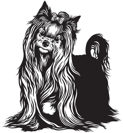 lap dog: cane yorkshire terrier, in bianco e nero di immagini