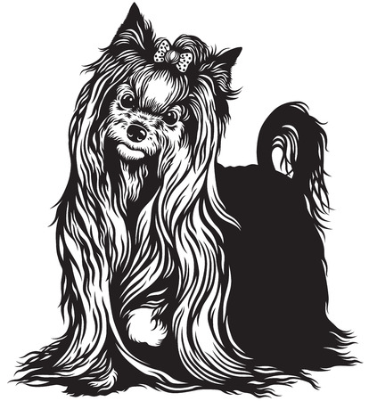 lap dog: yorkshire terrier dog , black and white image