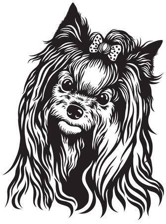 lap dog: yorkshire terrier di razza testa di cane, in bianco e nero di immagini