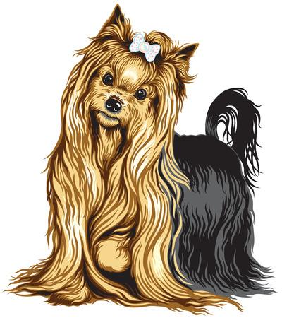 lap dog: yorkshire terrier cane isolato su bianco