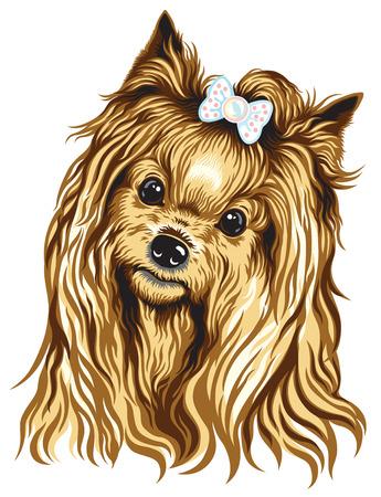 lap dog: testa di cane, yorkshire terrier, immagine isolato su bianco