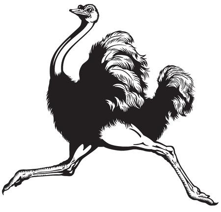 hardlopen struisvogel, zijaanzicht zwart-wit beeld