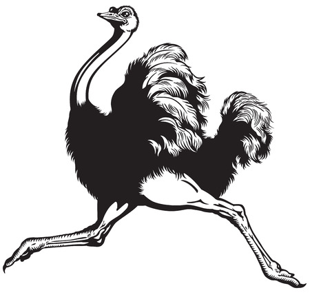 ostrich: running ostrich , side view black and white image