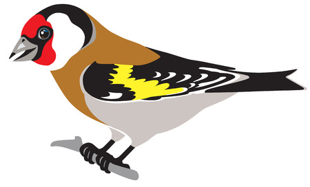 finch: european goldfinch side view isolated image