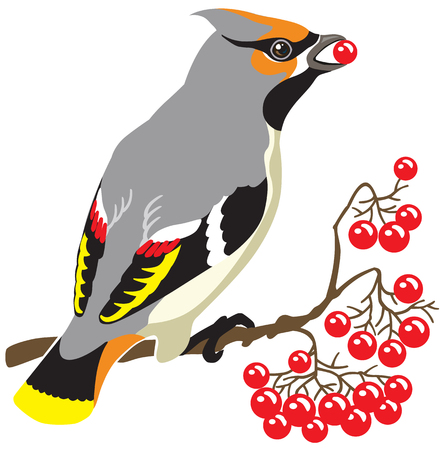 passerine: bohemian waxwing on a branch of rowan tree . Image isolated on white background Illustration