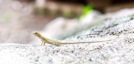 close ups: garden fence lizard oriental garden lizard close ups Stock Photo