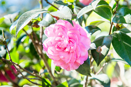 fade away: betty lewis red camellia in garden