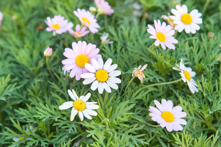 argyranthemum: MargueriteParis Daisy Argyranthemum frutescens Stock Photo