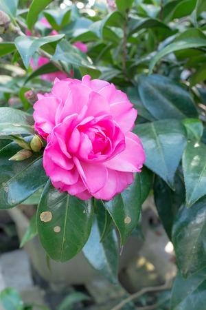 japonica: Flower of a camelliaCamellia japonica L