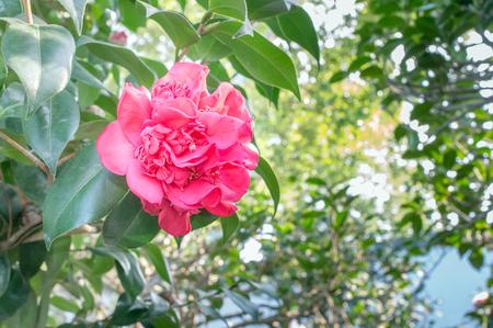 camellia japonica: Red Peony Camellia Camellia japonica L