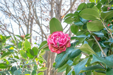 camellia japonica: pink camellia with bees Camellia japonica L Stock Photo