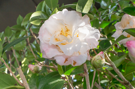 japonica: Camellia japonica Mary Fischer Stock Photo