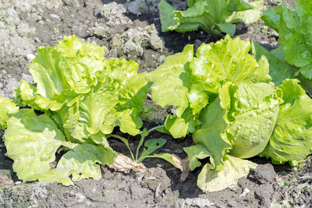 lactuca: Lactuca sativa Linn (Lactuca)