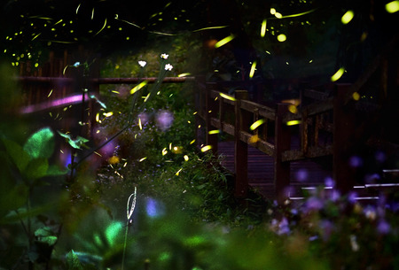 insects: Firefly  Night in the forest with fireflies. Long exposure of fireflies. Stock Photo
