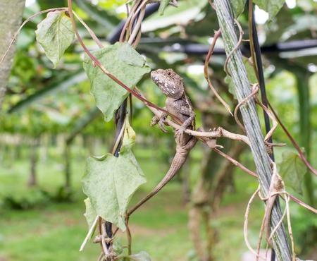 lacerta viridis: lizard in the vineyard Stock Photo