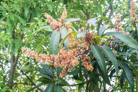 young tree: flower mango tree plant fruit nature