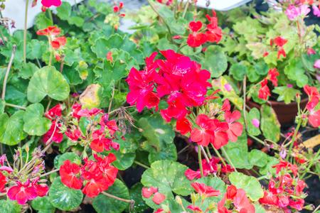 floristics: geranium (Pelargonium hortorum)
