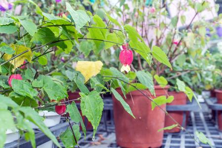 trailing: Flowering Maple (Trailing Abutilon) (Brazilian Bell Flower) Stock Photo