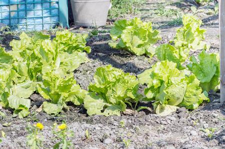 lactuca sativa: Lactuca sativa Linn (Lactuca)