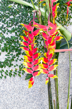 bloom bird of paradise: Heliconia rostrata