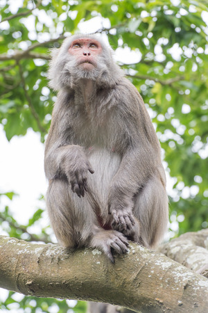 simian: monkey (Macaque) Stock Photo