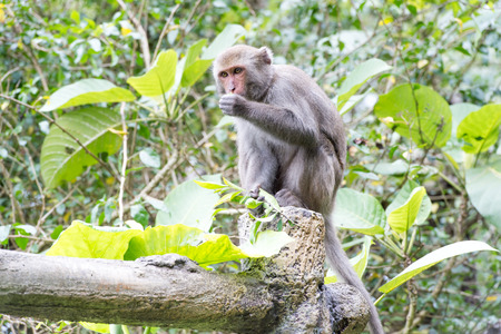 living organisms: Formosan macaques eat peanut (taiwan monkey) Stock Photo