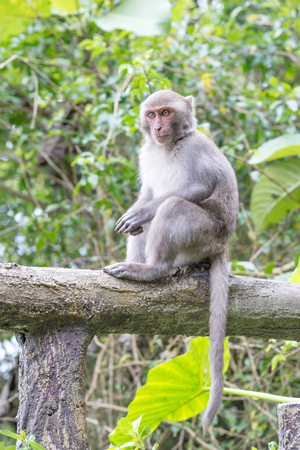 living organisms: Formosan macaques Looks into the distance (taiwan monkey) Stock Photo