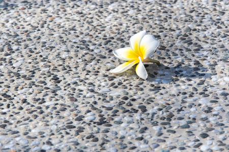 ravishing: White plumeria flower with pebbles on stone background