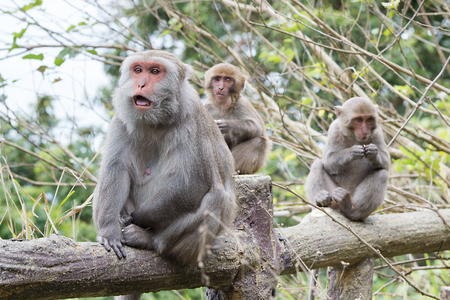 Formosan macaques look into the distance