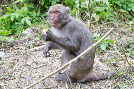 Formosan macaques eat orange (taiwanese monkey)