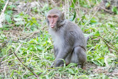 Formosan macaques tongue (taiwanese monkey)