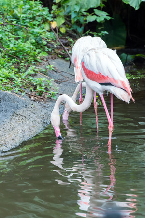 phoenicopterus: phoenicopterus chilensis or flamingo Stock Photo