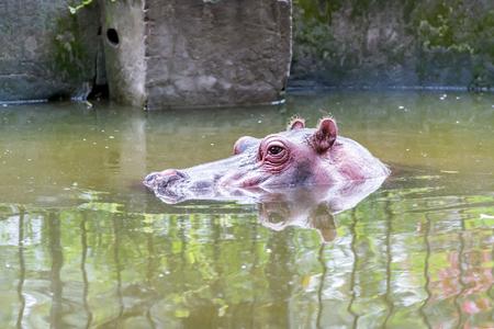 dangerous love: Hippo in water