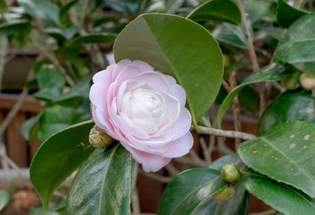 camellia japonica: Camellia japonica Cantonese Pink Stock Photo