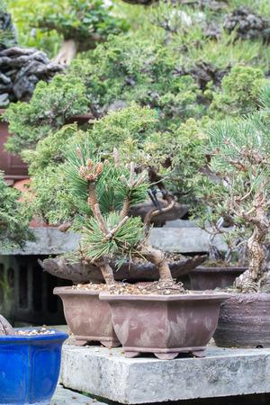 dwarfish: red pine