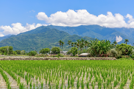 golden rule: Rice field with Blue sky and cloud, Taiwan eastern, Chishang Township, Taitung County, Taiwan (ROC)