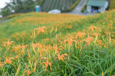 fissure: Blossom Season of Daylily on the Hill of East Rift Valley, Taiwan.