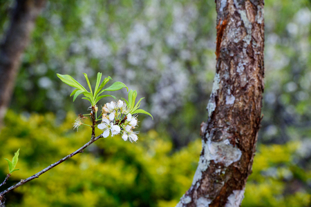 Branch with flowering plum tree