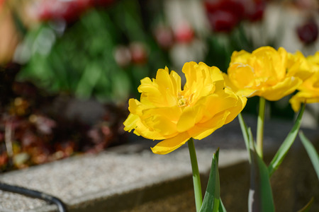 beautiful tulip in a garden in spring time Stock Photo