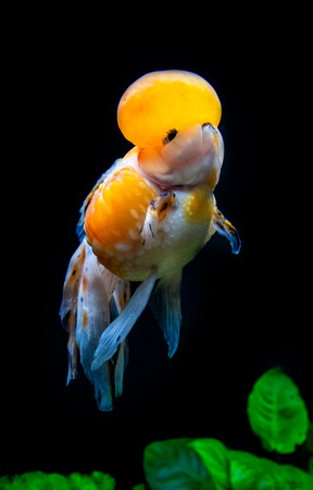 Beautiful and elegant goldfish floats in aquarium with green plants and stones, closeup, named